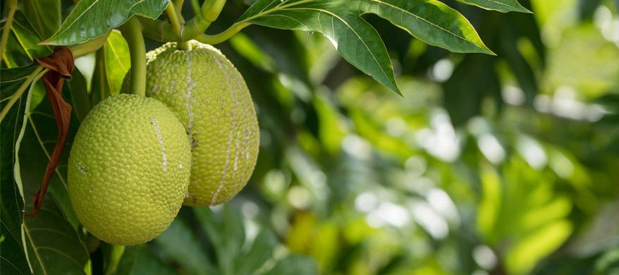 Hoe gezond is jackfruit?
