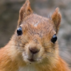 Puumainen Orava