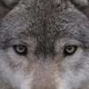 Wolf_