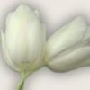 Tulpe2004